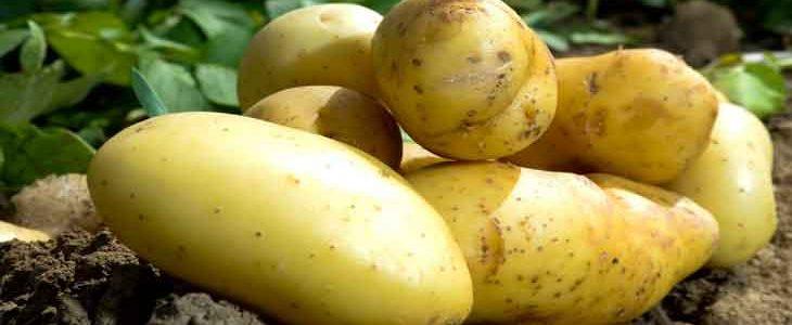 Картофель: польза и вред для здоровья, факты, исследования